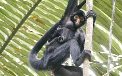 南米ペルーの熱帯雨林に生息するスパイダーモンキーの親子